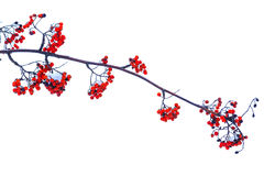 Sorbus branch with red berries on a white background. Berries, trees, isolated object Royalty Free Stock Photography
