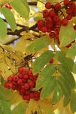 Sorbus branches in aurumn with red berries. Sorbus branches in autumn with red berries and yellow leaves close-up in natural conditions during the day stock photos