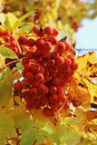 Sorbus branches in aurumn with red berries. Sorbus branches in autumn with red berries and yellow leaves close-up in natural conditions during the day royalty free stock photography