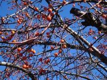 Sorbus dell'albero di cenere della montagna americana con le bacche rosse Fotografie Stock