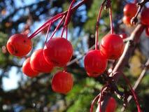 Sorbus dell'albero di cenere della montagna americana con le bacche rosse Fotografie Stock Libere da Diritti
