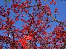 Sorbus dell'albero di cenere della montagna americana con le bacche rosse Immagine Stock Libera da Diritti