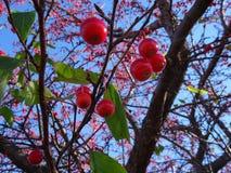 Sorbus dell'albero di cenere della montagna americana con le bacche rosse Immagine Stock