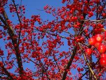 Sorbus dell'albero di cenere della montagna americana con le bacche rosse Fotografia Stock Libera da Diritti