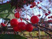 Sorbus dell'albero di cenere della montagna americana con le bacche rosse Fotografia Stock