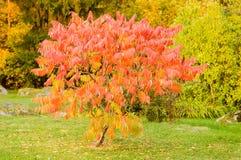 Sorbus dodong lub rowan drzewo Obrazy Royalty Free
