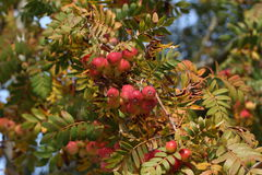 Sorbus domestica. Autumn: Sorbus domestica close-up Royalty Free Stock Image