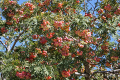 Sorbus Domestica Royalty Free Stock Photos
