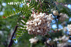 Sorbus fruticosa. 's white berries in August Royalty Free Stock Photography