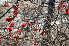 Sorbus Stock Images