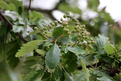 Sorbus Hybrid. Leaves and fruit of Sorbus � pinnatifida from the rowan genus stock images