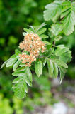 Sorbus hybrida, the oakleaf mountain ash. Another names: Swedish service-tree or Finnish whitebeam, is a species of whitebeam native to Scandinavia in Norway Royalty Free Stock Photo