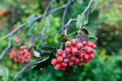 Sorbus hybrida (Swedish service tree). Is a species of whitebeam native to Scandinavia in Norway, eastern Sweden, and southwestern Finland, and locally in the royalty free stock image