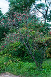 Sorbus hybrida (Swedish service tree) Stock Image