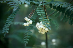 Sorbus koehneana plant. White 'Koehne Mountain Ash' plant fruits or Sorbus koehneana Royalty Free Stock Photos