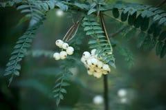 Sorbus koehneana plant Royalty Free Stock Photos
