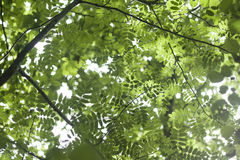 Sorbus leaves. Green nature background stock photo