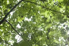 Sorbus  leaves Stock Photo