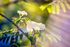 Sorbus or Mountain ash flower in bloom. Sunny spring Stock Images