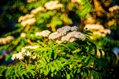 Sorbus or Mountain ash flower in bloom. Sunny spring Royalty Free Stock Photos