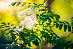 Sorbus or Mountain ash flower in bloom. Sunny spring Stock Photography