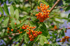 Sorbus. Raw Sorbus tree and berries growing Stock Photos
