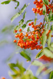 Sorbus Royalty Free Stock Photo
