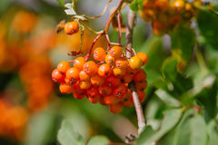 Sorbus. Raw Sorbus tree and berries growing Royalty Free Stock Photos