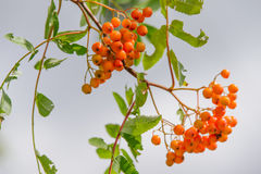Sorbus. Raw Sorbus tree and berries growing Royalty Free Stock Images
