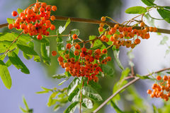 Sorbus. Raw Sorbus tree and berries growing Royalty Free Stock Image