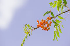 Sorbus. Raw Sorbus tree and berries growing Stock Image