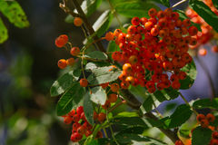 Sorbus. Raw Sorbus tree and berries growing Royalty Free Stock Photo
