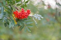 Sorbus rosso Fotografie Stock Libere da Diritti