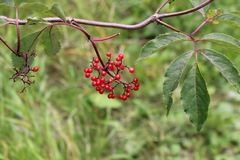 Sorbus, Rowan, Branch with fruit, detail stock photo