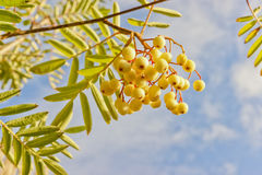 Sorbus rowan Joseph Rock in autumn. Sorbus commonly know as rowan or mountain ash, this particular kind is called Joseph Rock and has unusual amber-yellow Royalty Free Stock Photo