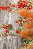 Sorbus is a subgenus of Sorbus belonging Stock Images