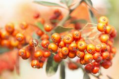 Sorbus is a subgenus of Sorbus belonging Stock Image