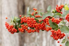 Sorbus is a subgenus of Sorbus belonging Stock Photos