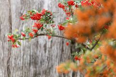 Sorbus is a subgenus of Sorbus belonging Stock Photography