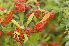 Sorbus is a subgenus of Sorbus belonging Stock Photo