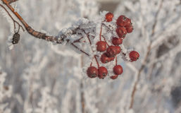 Sorbus torminalis branches. With bunches of berries in the frost royalty free stock images