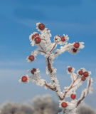 Sorbus torminalis branches with bunches of berries Royalty Free Stock Photography