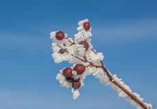 Sorbus torminalis branches with bunches of berries. In the frost on the background of the winter sky royalty free stock photography