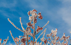Sorbus torminalis branches with bunches of berries. In the frost on the background of the winter sky stock photos