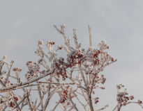 Sorbus torminalis  in the frost on the background of the sky. The branch  Sorbus torminalis with bunches of berries in the frost on the background of the sky Royalty Free Stock Image