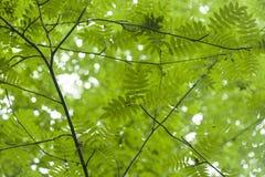 Sorbus tree leaves. Sorbus green leaves in springtime royalty free stock photo