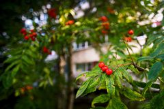 Sorbus in urban areas. Soft focus Stock Photos