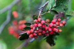 Sorbushybrida (Zweedse de dienstboom) Royalty-vrije Stock Foto