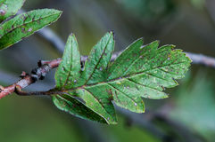 Sorbushybrida (Zweedse de dienstboom) Stock Foto