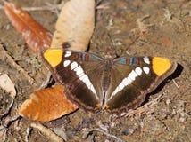 Sorella Butterfly di California Fotografia Stock